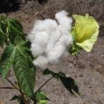 Przyroda i JA - Jak powstają nasze ubrania? - poznajemy rośliny włókniste